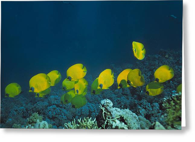 Chaetodon Semilarvatus Greeting Cards - Butterfly Fish Greeting Card by Peter Scoones
