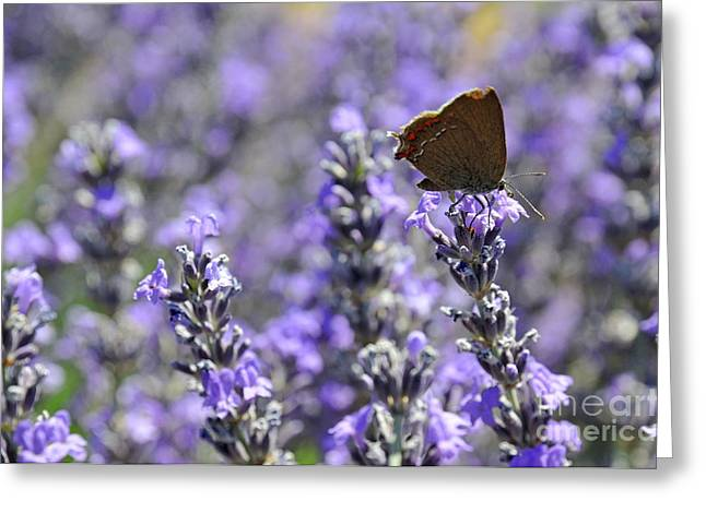 Butterfly On Lavender Greeting Cards - Butterfly gathering nectar from lavender flowers Greeting Card by Sami Sarkis