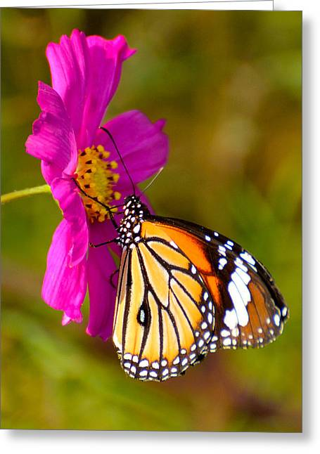 Common Tiger Butterfly Greeting Cards - Butterfly II Greeting Card by Fotosas Photography