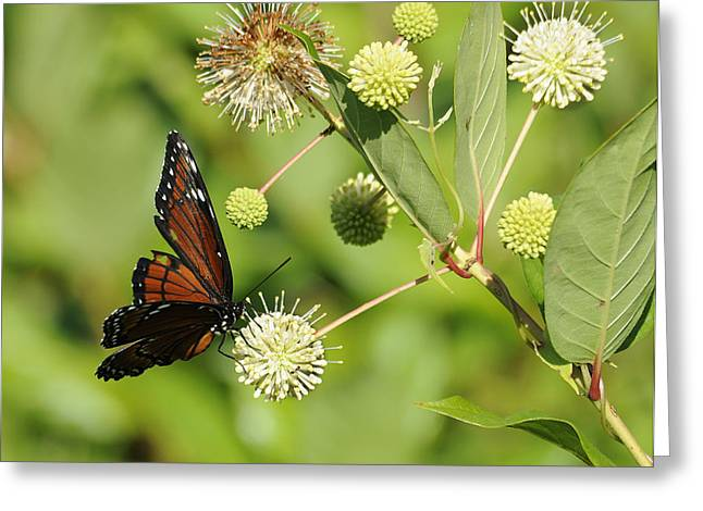 Butterfly Greeting Card by Keith Lovejoy
