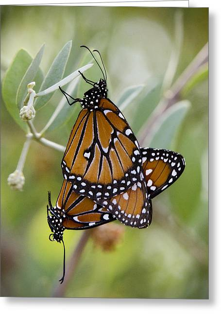 Queen Butterfly Greeting Cards - Butterfly Love  Greeting Card by Saija  Lehtonen