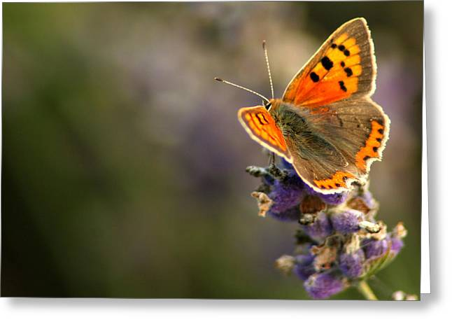 Wildlife Celebration Greeting Cards - Butterfly on a Lavender stem Greeting Card by Stephen Inglis