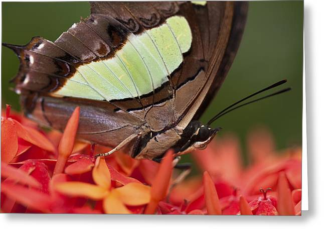 Invertebrates Greeting Cards - Butterfly on an Ixora Greeting Card by Zoe Ferrie