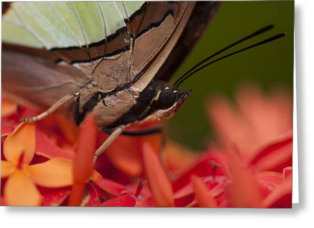 Invertebrates Greeting Cards - Butterfly resting on Ixora flower Greeting Card by Zoe Ferrie