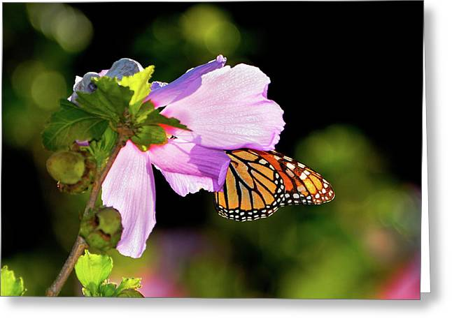 Eating Entomology Greeting Cards - Butterfly Sunset Greeting Card by Betty LaRue