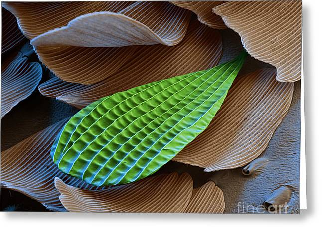 Scanning Electron Micrograph Greeting Cards - Butterfly Wing Scale Sem Greeting Card by Eye of Science