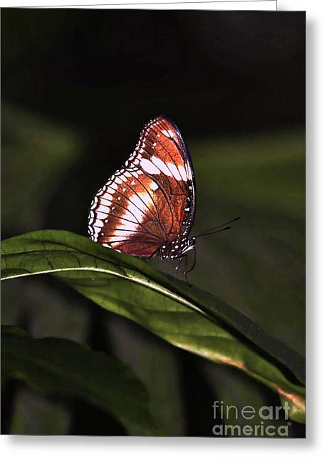 Photo Gallery Website Greeting Cards - butterfly X Greeting Card by Tom Prendergast