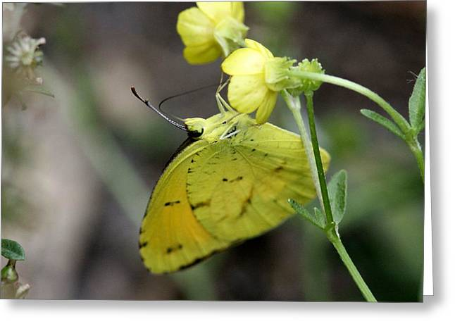 Butterfly - Yellow Sulphur On Yellow Greeting Card by Travis Truelove