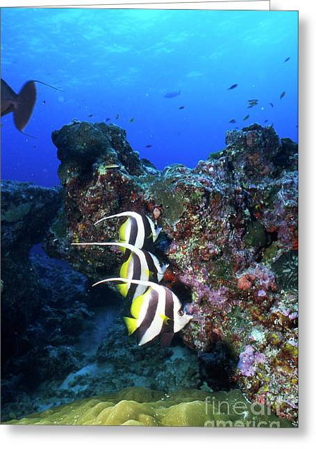 Butterflyfish, Thailand Greeting Card by Beverly Factor
