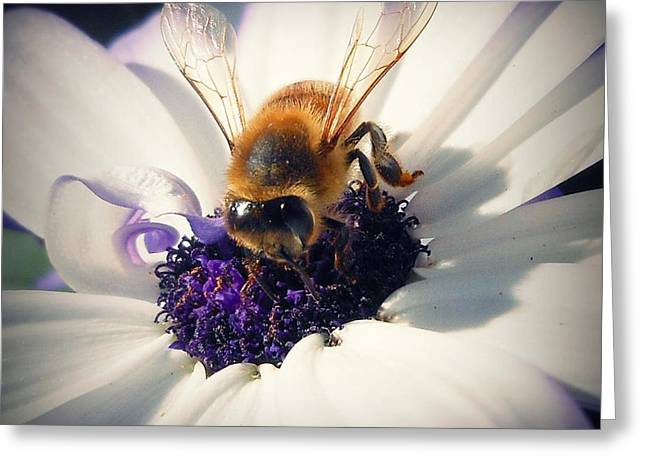 Senetti Photographs Greeting Cards - Buzz Wee Bees lll Greeting Card by Lessie Heape