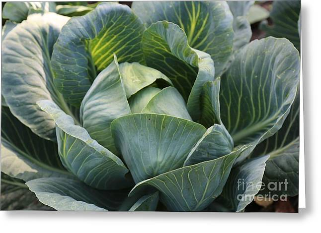 Fresh Food Greeting Cards - Cabbage in the Vegetable Garden Greeting Card by Carol Groenen