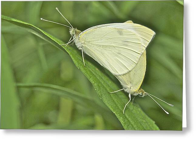 Pieris Rapae Greeting Cards - Cabbage White Butterflies 5267 Greeting Card by Michael Peychich