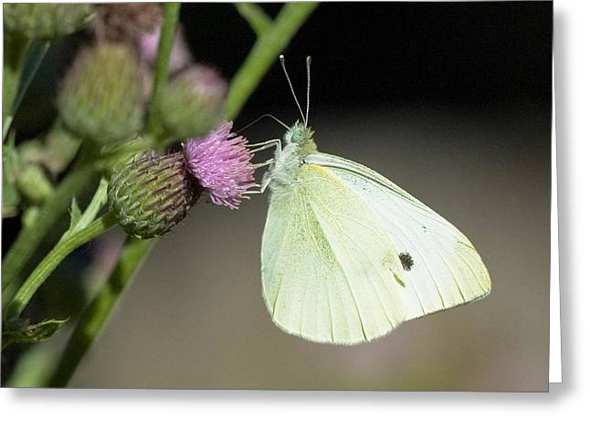 Pieris Rapae Greeting Cards - Cabbage White butterfly Greeting Card by Chris ODonoghue