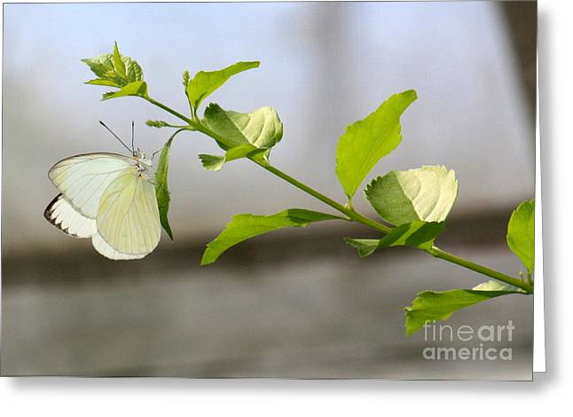 Pieris Rapae Greeting Cards - Cabbage White Butterfly Greeting Card by Danielle Groenen