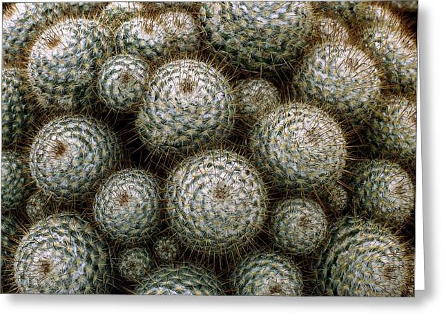 Chelsea Greeting Cards - Cacti Greeting Card by Vaughan Fleming