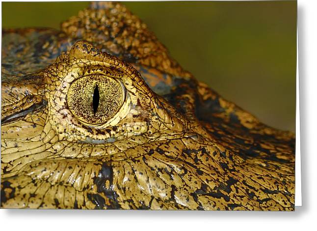 Caiman Tears Greeting Card by Tony Beck