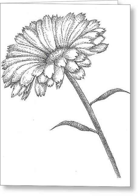 Flora Drawings Greeting Cards - Calendula Greeting Card by Christy Beckwith