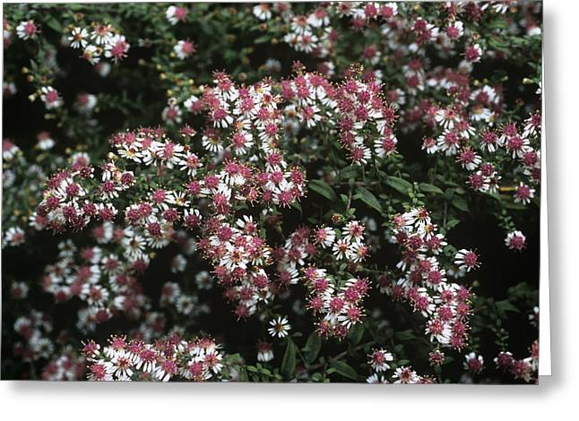 Asters Greeting Cards - Calico Aster (aster horizontalis) Greeting Card by Adrian Thomas