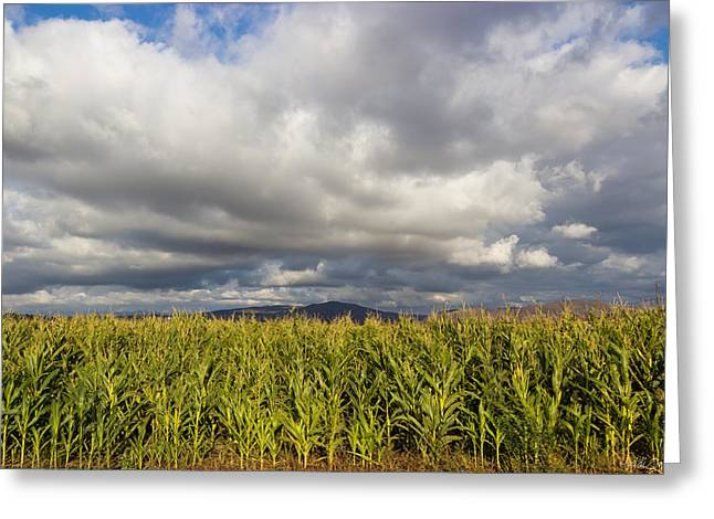 Sweet Corn Farm Greeting Cards - California Cornfield Greeting Card by Heidi Smith
