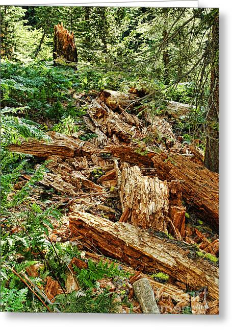 Conifer Tree Greeting Cards - California Forest Greeting Card by HD Connelly
