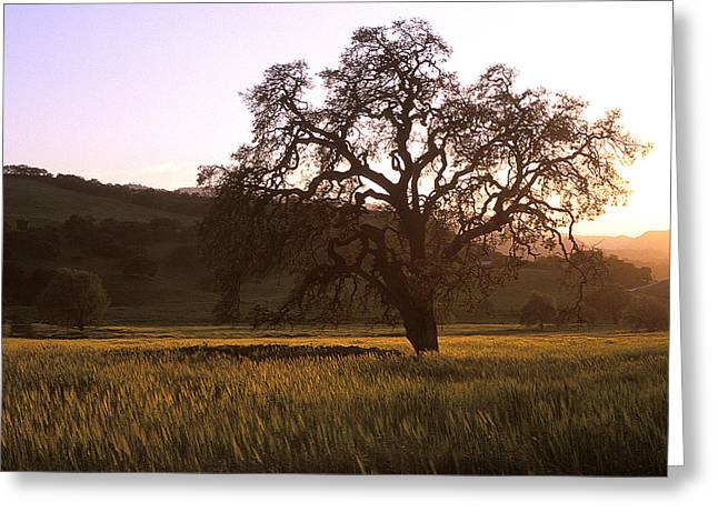 Featured Art Greeting Cards - California Hwy 25 Oak Greeting Card by Kathy Yates