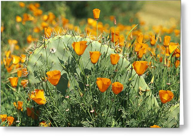 Flowers In California Greeting Cards - California Poppies Surround A Prickly Greeting Card by Rich Reid