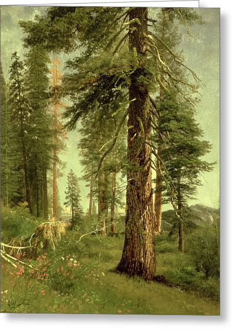 Californian Greeting Cards - California Redwoods Greeting Card by Albert Bierstadt
