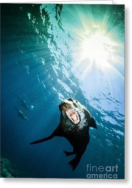 California Sea Lions Greeting Cards - California Sea Lion, La Paz, Mexico Greeting Card by Todd Winner