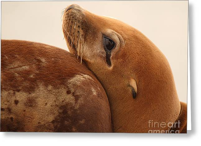 Recently Sold -  - California Sea Lions Greeting Cards - California Sea Lion Pup Resting Against Mother Greeting Card by Max Allen