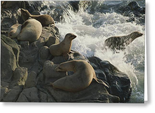 California Sea Lions Greeting Cards - California Sea Lions Bask On San Miguel Greeting Card by James A. Sugar