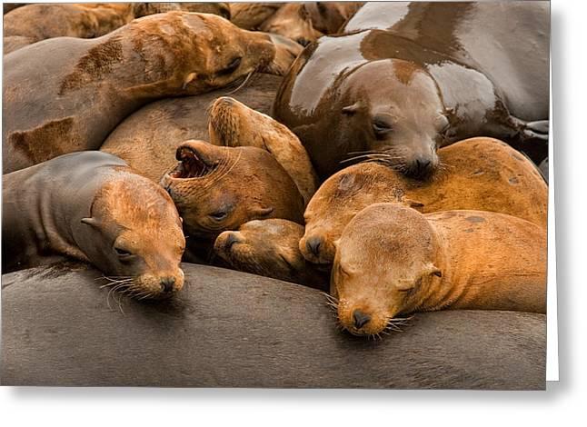 California Sea Lions Greeting Cards - California Sea Lions Greeting Card by Floyd Hopper