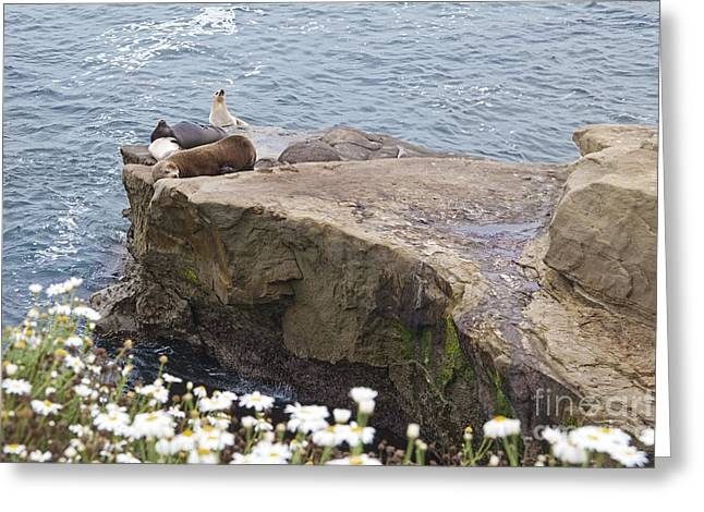 California Sea Lions Greeting Cards - California sea lions Zalophus californianus at La Jolla Shores Greeting Card by Sherry  Curry