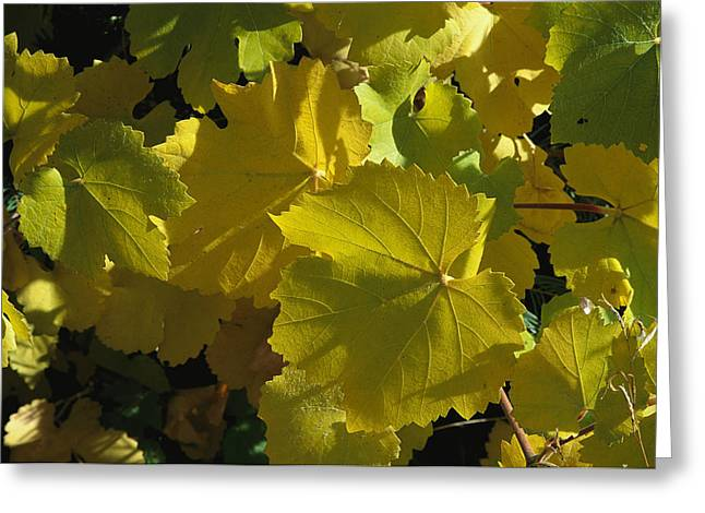 Grape Leaf Greeting Cards - California Wild Grape Leaves Vitis Greeting Card by Marc Moritsch