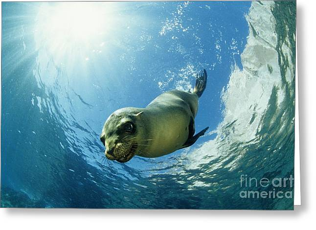 Californian Sea Lion Greeting Card by Franco Banfi and Photo Researchers