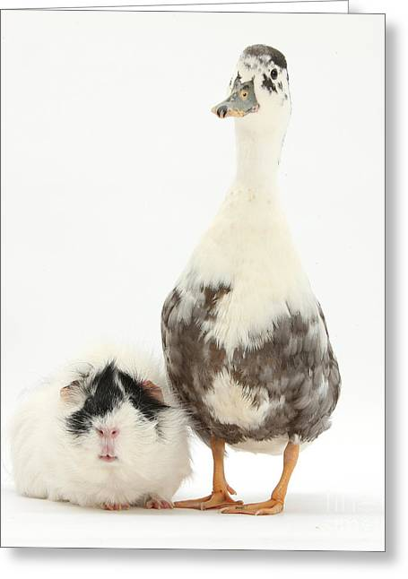 House Pet Greeting Cards - Call Duck And Guinea Pig Greeting Card by Mark Taylor