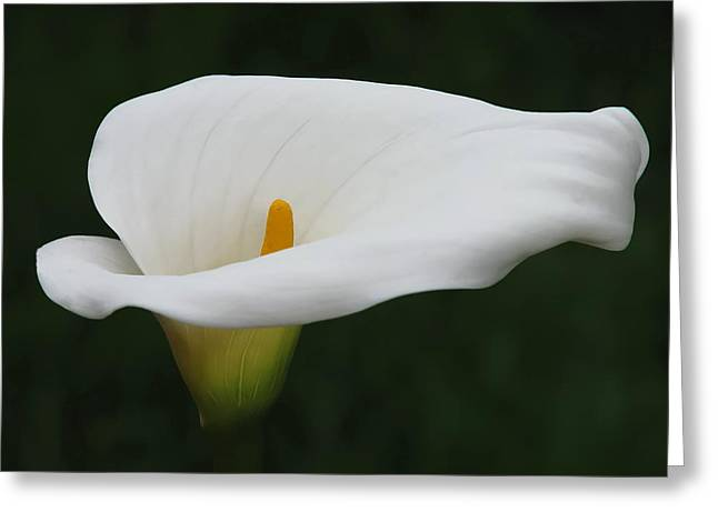 Calla Lily Greeting Cards - Calla Lily Greeting Card by Angie Vogel