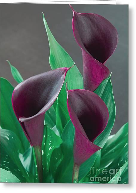 Calla Lily Greeting Cards - Calla Lily Greeting Card by Naman Imagery