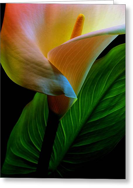 Calla Lily Greeting Cards - Calla Lily Greeting Card by Dung Ma