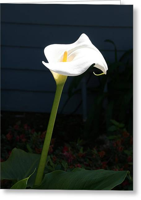 Greeting Cards - Calla Lily Greeting Card by Ron Javorsky