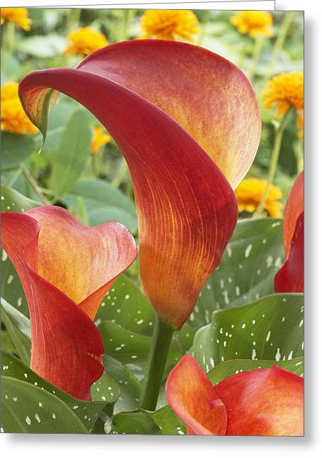 Day Lilly Greeting Cards - Calla Lily Zantedeschia Sp Captain Greeting Card by VisionsPictures
