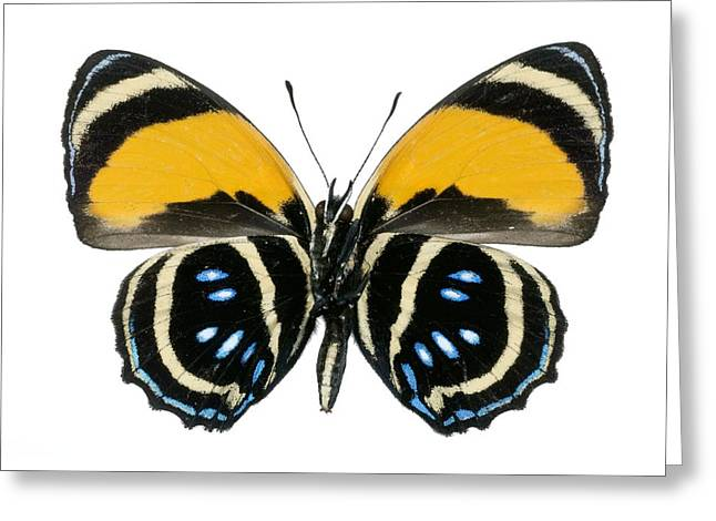 Cut-outs Greeting Cards - Callicore Aegina Butterfly Greeting Card by Lawrence Lawry