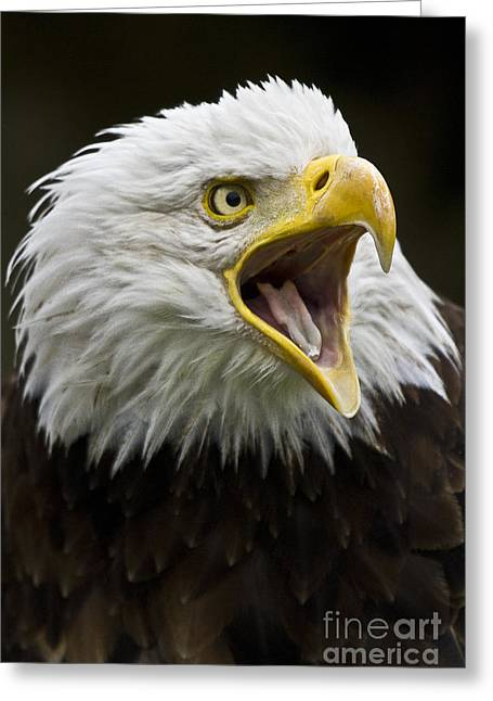 Biology Greeting Cards - Calling Bald Eagle - 4 Greeting Card by Heiko Koehrer-Wagner
