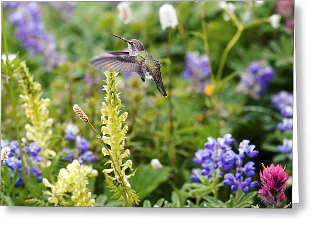 Calliopes Greeting Cards - Calliope Hummingbird Greeting Card by Bob Gibbons