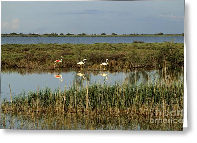 Flamingo Greeting Cards - Camargue.Etang of Vacarres Greeting Card by Bernard Jaubert
