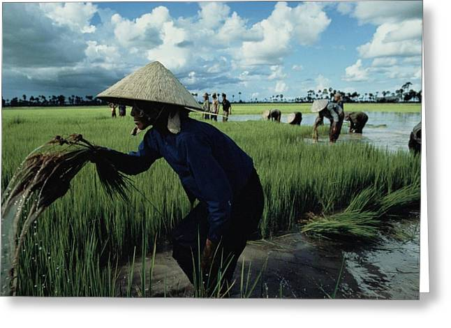Farmers And Farming Greeting Cards - Cambodians Harvesting Rice Greeting Card by David Alan Harvey