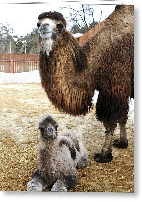 Russian Born Greeting Cards - Camel And Colt Greeting Card by Ria Novosti
