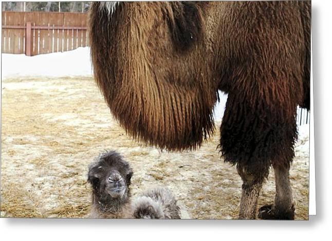 Camel And Colt Greeting Card by Ria Novosti