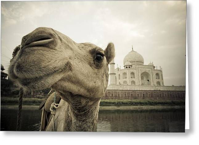 Camel In Front Of The Yamuna River And Greeting Card by David DuChemin