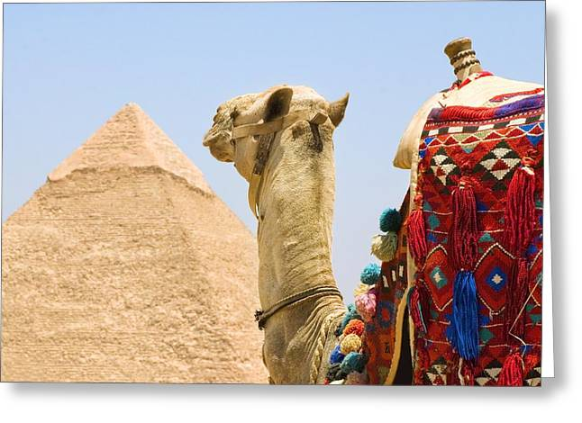Ancient Ruins Greeting Cards - Camel Near A Pyramid, Giza, Egypt Greeting Card by Chris Knorr