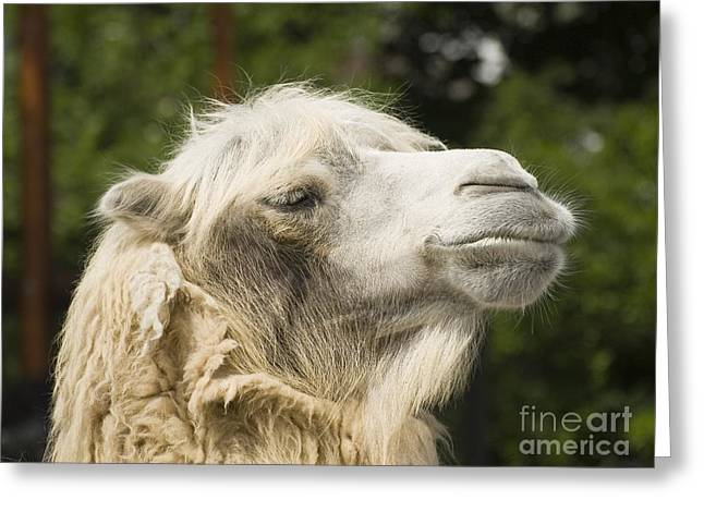 Best Sellers -  - Sahara Sunlight Greeting Cards - Camel portrait Greeting Card by Odon Czintos